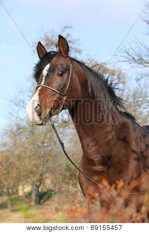 Beautiful Brown Arabian Horse With Show Halter