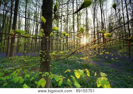 Sunrise In Forest With Bluebells