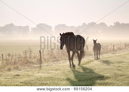 Horses Walk On Misty Pasture