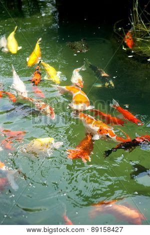 Beautiful ornamental koi fish swimming in pond.