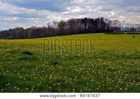 Pasture field of dandelions in Sussex.
