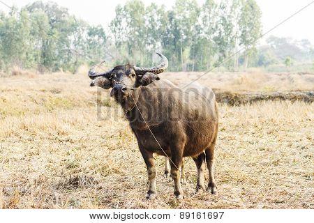 Buffalo In Wide Field Of Thailand