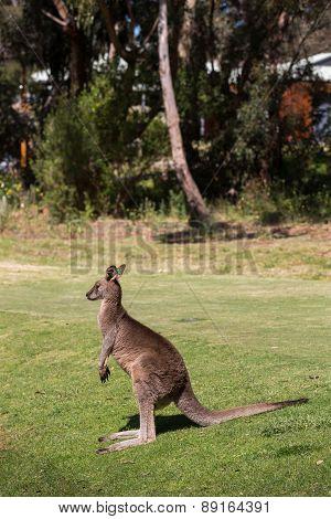 Kangaroo in Australia.