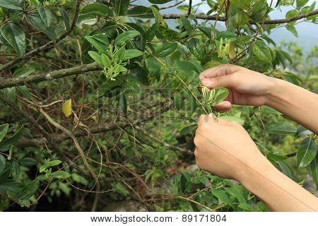 hands picking honeysuckle flowers
