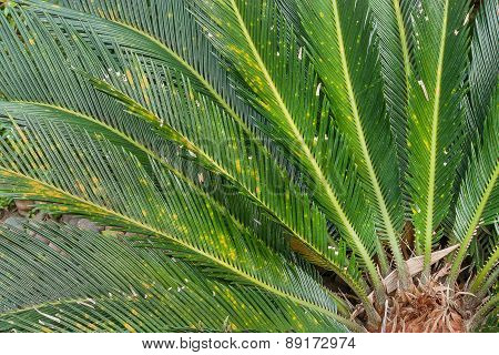Close-up Of Leaves Cycas Circinalis L.