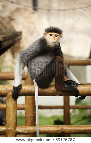 Close Up Red-shanked Douc Langur