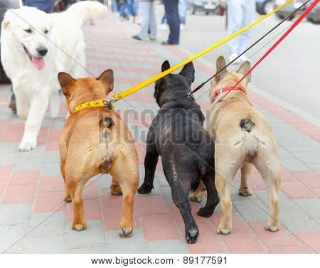 three French Bulldog and labrador retriever