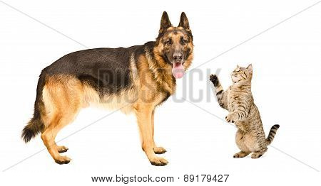 German Shepherd dog and playful cat Scottish Straight