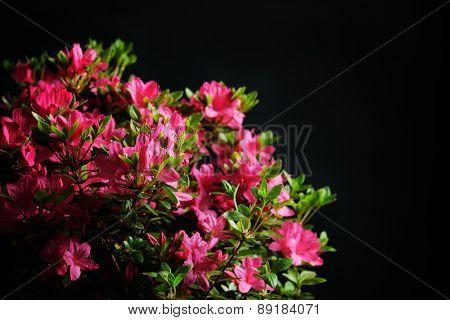 blossom azalea