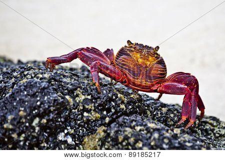 Zayapas  Crabs
