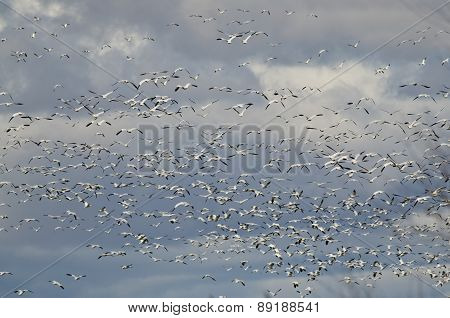 Massive Flock Of Snow Geese Flying Through The Sky