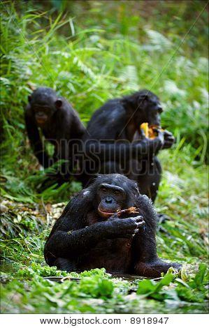 Chimpanzee Bonobo.