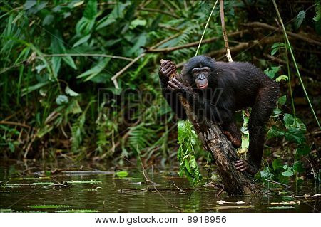 Bonobo On A Branch Which Is Sticking Out Of Water.