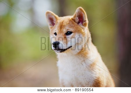 adorable red shiba-inu puppy outdoors