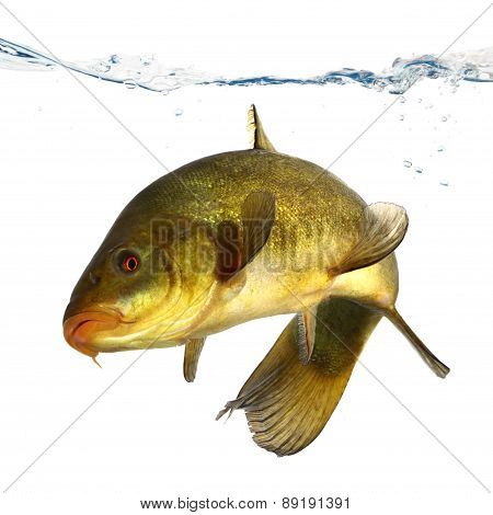 carp, tench, colored fish swimming free