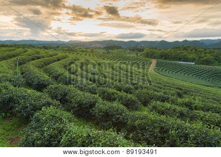 Green Tea Plantations