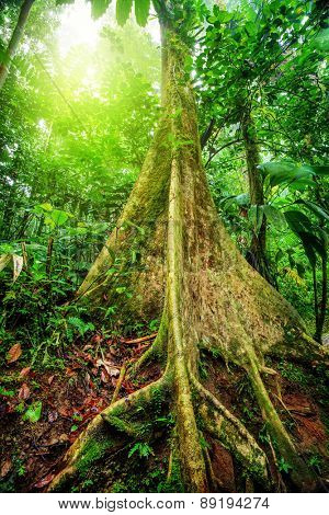 Amazing giant tree in rainforest, bright sunlight through fresh green foliage, beautiful nature of national park in Costa Rica, Central America