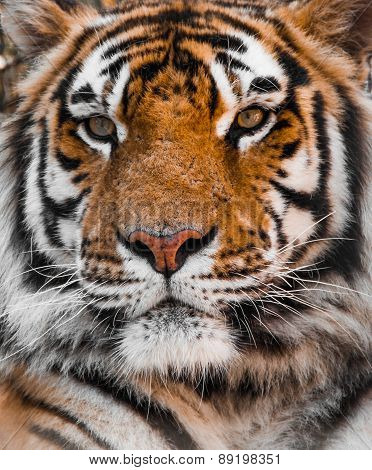 TIGER, Tigers face