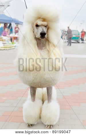 vector white dog Poodle breed sitting