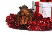 foto of porpoise  - brown guinea pig and red garland with gift - JPG