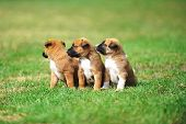 image of belgian shepherd  - young puppies belgian shepherd malinois in field - JPG