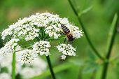 stock photo of pollen  - Macro shot of Honey Bee gathering pollen from white flower - JPG