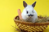 foto of midget  - small cute rabbit isolated on yellow background - JPG
