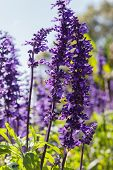 picture of salvia  - purple flower  - JPG