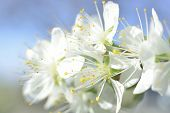 pic of stamen  - plum white macro spring blossoms with long stamens in garden - JPG