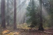 picture of coniferous forest  - Autumnal morning in the forest with mist among pines and spruce trees Bialowieza Forest Poland Europe - JPG
