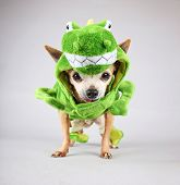 image of chihuahua mix  - a cute chihuahua dressed up in a green dinosaur or a lizard costume isolated on a gray background  - JPG