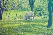 pic of spring lambs  - Sheep and lamb on green field in spring - JPG