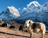 pic of yaks  - yak on pasture and ama dablam peak  - JPG
