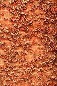 pic of ivy  - Red brick wall background with dry withered ivy leaves plants - JPG