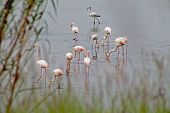 picture of pink flamingos  - Group of pink flamingos on the lake - JPG