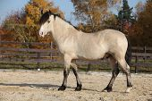 pic of stallion  - Amazing palomino welsh cob stallion with black hair in autumn - JPG