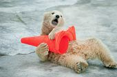 image of zoo  - polar bear baby plays with plastic cone in zoo