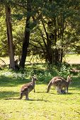 pic of kangaroo  - Wild kangaroos seen on a field near Melbourne - JPG
