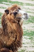 picture of camel  - Shaggy Bactrian camel  - JPG
