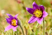 foto of common  - Pasque flower  - JPG