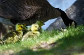 image of mother goose  - Adorable Little Newborn Goslings Staying Close to Mom - JPG