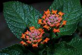 image of lantana  - Cloth of Gold Flowers Lantana camara Verbenaceae - JPG