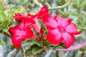 stock photo of desert-rose  - Desert Roses are Thai Flower - JPG
