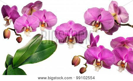 Blooming Orchid With Dew Drops. Collage. Isolated.