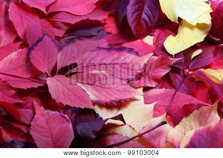 Background Of Multicolor Autumn Virginia Creeper Leaves