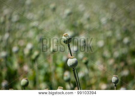 Closeup Poppyhead.