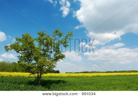 Lone Tree In A Field