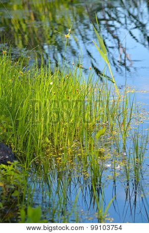 Shoots Of Bulrush
