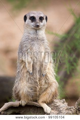 An Isolated Meerkat standing up