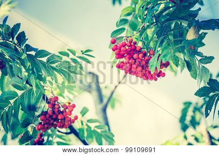 Vintage Photo Of Red Rowan Fruits On Branch